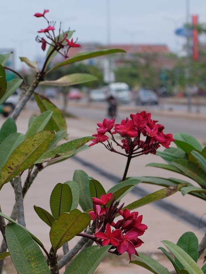 Inflorescencia de flores hermosas con los p?talos rosados, brotes rosados, follaje verde imagen de archivo libre de regalías