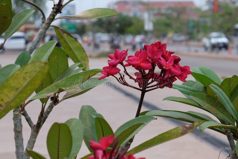 Inflorescencia de flores hermosas con los p?talos rosados, brotes rosados, follaje verde fotos de archivo libres de regalías