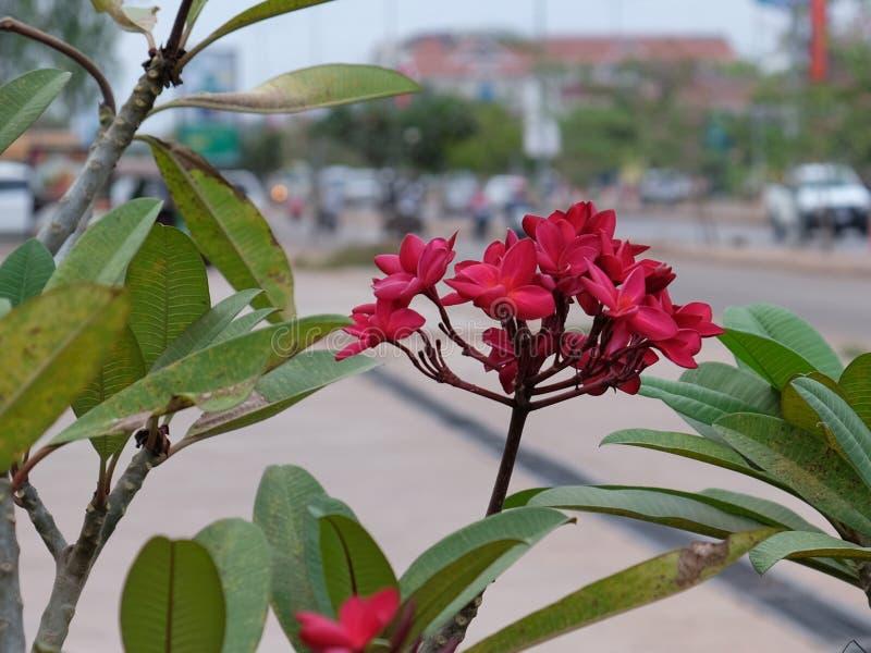 Inflorescencia de flores hermosas con los p?talos rosados, brotes rosados, follaje verde fotografía de archivo