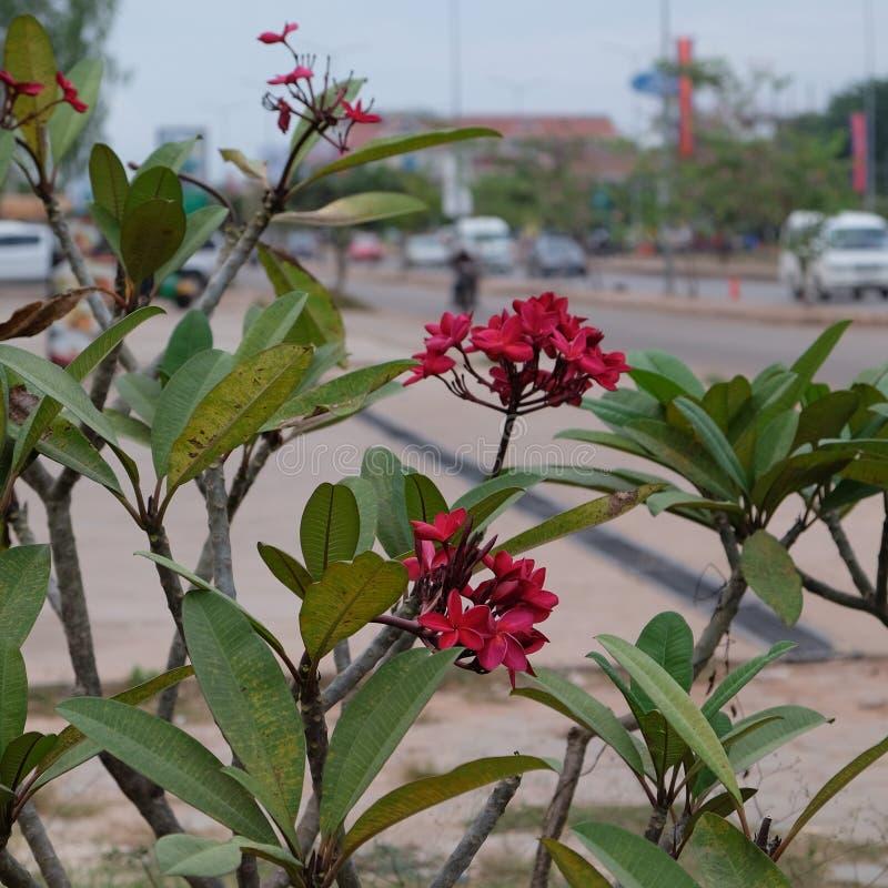 Inflorescencia de flores hermosas con los p?talos rosados, brotes rosados, follaje verde imagenes de archivo