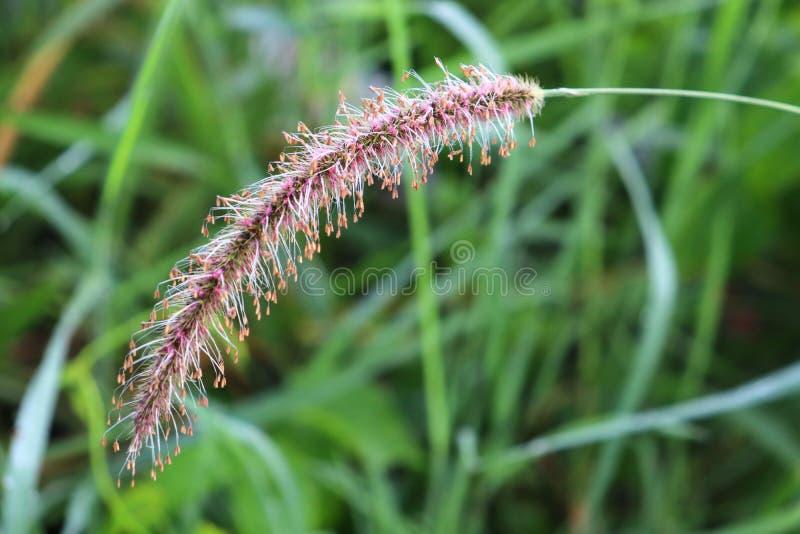 Inflorescencia de la cánula de hierba foto de archivo