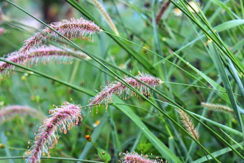 Inflorescencia de la cánula de hierba imagenes de archivo