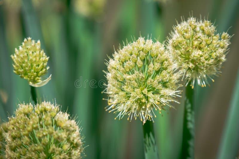 Inflorescencia de la cebolla en el jardín Cepa del allium foto de archivo libre de regalías