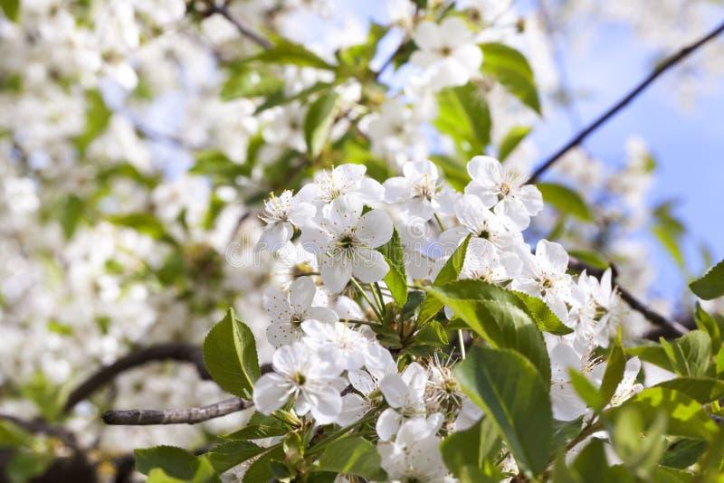 Inflorescencia de la cereza imagenes de archivo