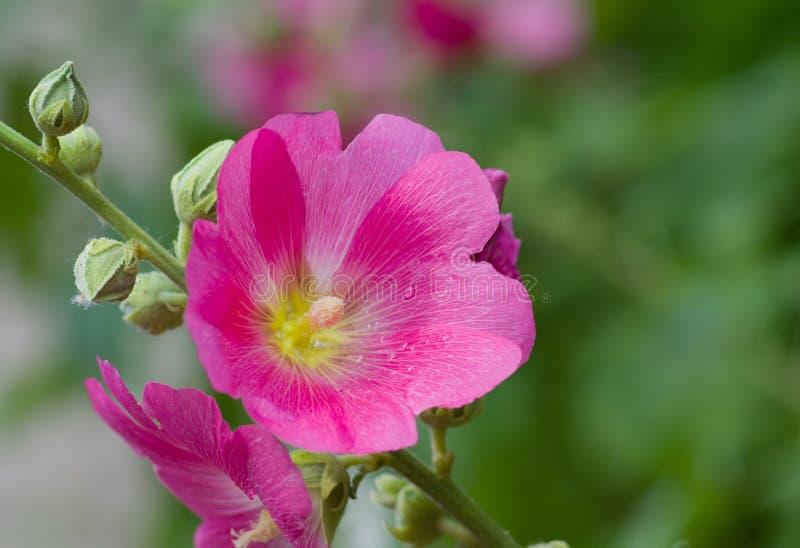 Inflorescencia de la flor del Malva fotos de archivo