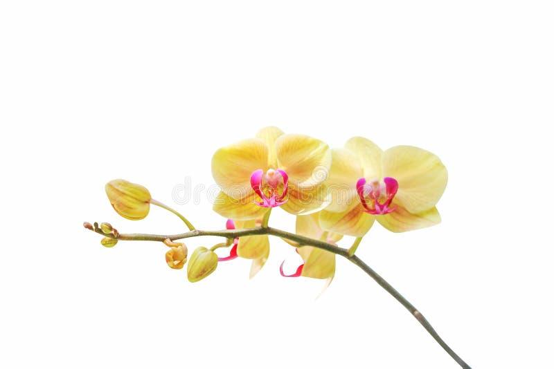 Inflorescencia de la floración amarilla de las orquídeas aislada en el fondo blanco foto de archivo libre de regalías