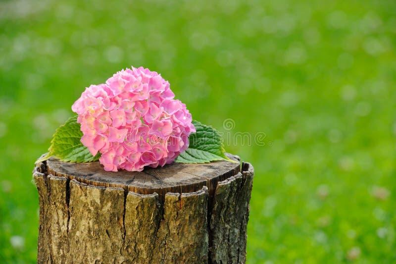 Inflorescencia de la hortensia rosada en tocón de árbol fotos de archivo libres de regalías