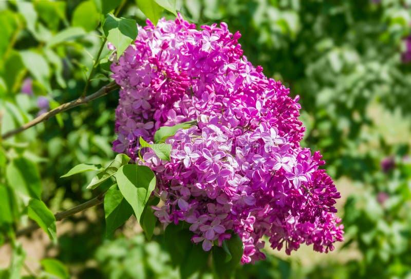 Inflorescencia de la lila en el foco selectivo fotos de archivo