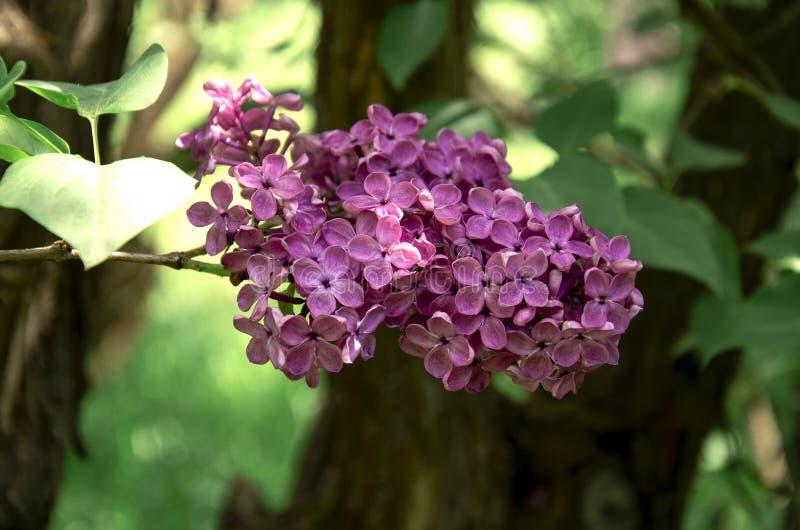 Inflorescencia de la lila, rama de florecimiento de la lila en un arbusto imagenes de archivo