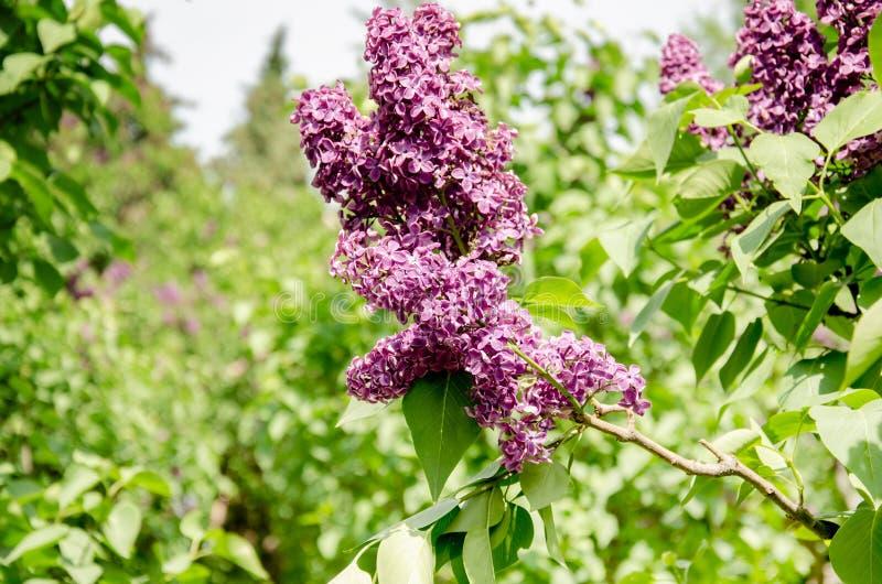 Inflorescencia de la lila, rama de florecimiento de la lila en un arbusto imagen de archivo libre de regalías