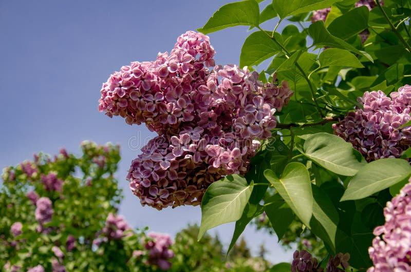 Inflorescencia de la lila, rama de florecimiento de la lila en un arbusto imágenes de archivo libres de regalías