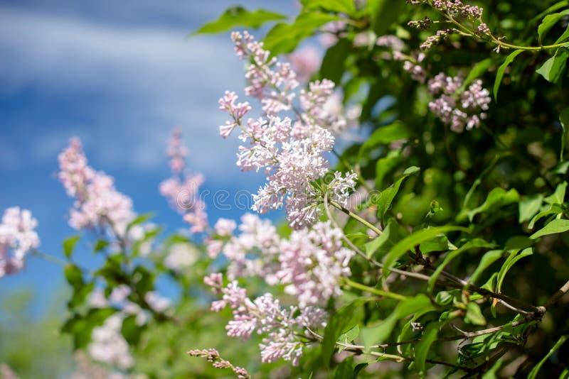 Inflorescencia de la lila rosada foto de archivo