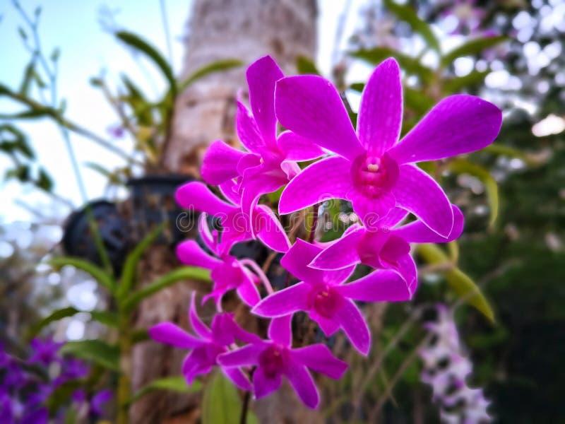Inflorescencia de la orquídea rosada fotografía de archivo