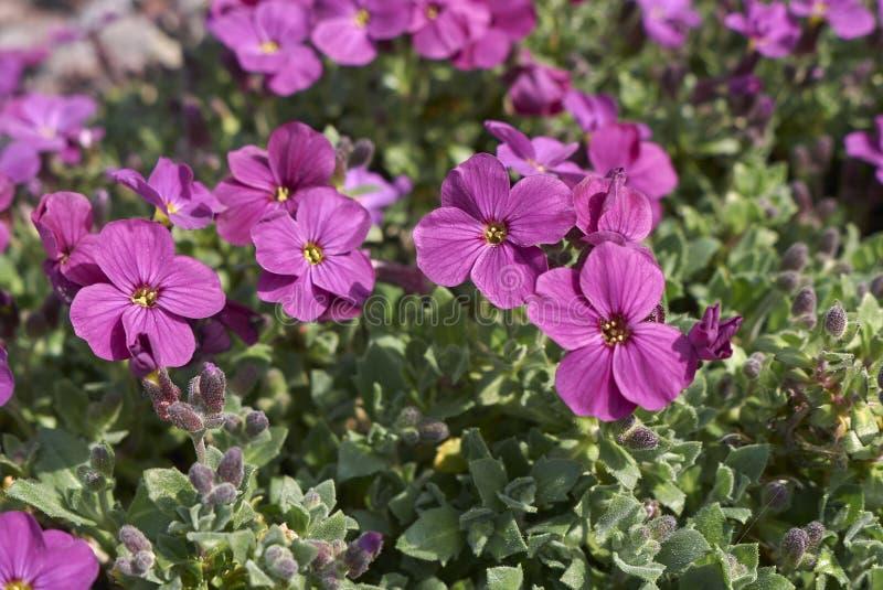 Inflorescencia de la púrpura de Aubrieta fotos de archivo