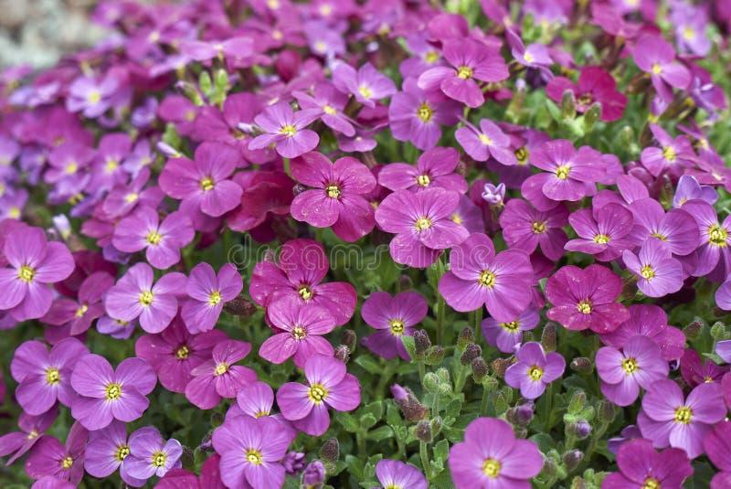 Inflorescencia de la púrpura de Aubrieta foto de archivo