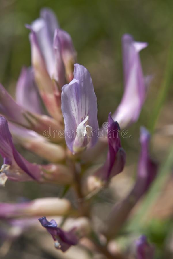 Inflorescencia de la púrpura del monspessulanus del astrágalo foto de archivo