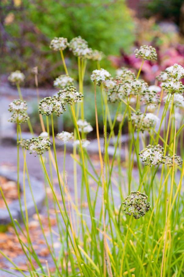 Inflorescencia de las cebolletas de ajo en el jardín imagen de archivo libre de regalías