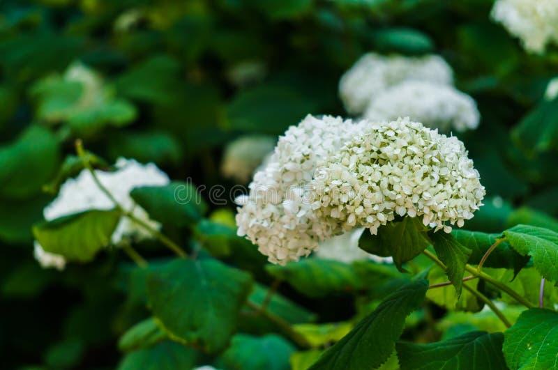 Inflorescencia de las flores blancas de la hortensia en jardín foto de archivo