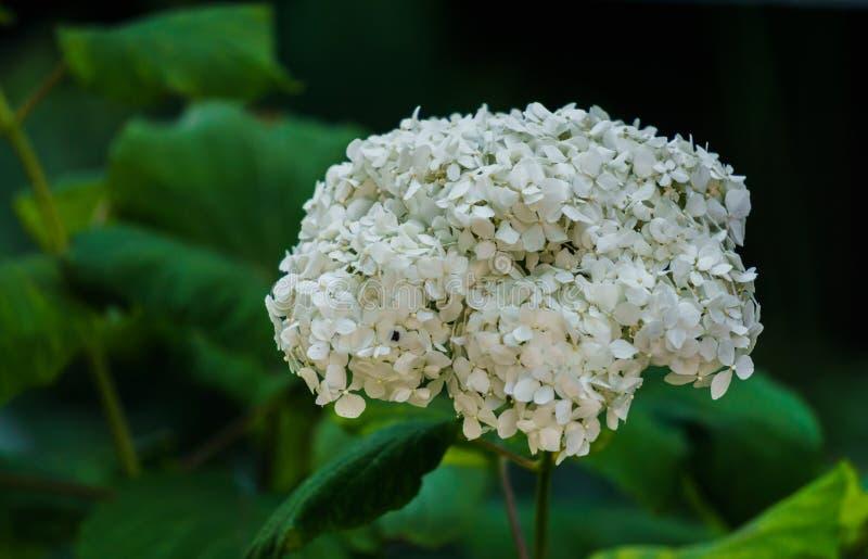 Inflorescencia de las flores blancas de la hortensia en jardín fotos de archivo