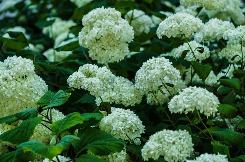 Inflorescencia de las flores blancas de la hortensia en jardín fotos de archivo libres de regalías
