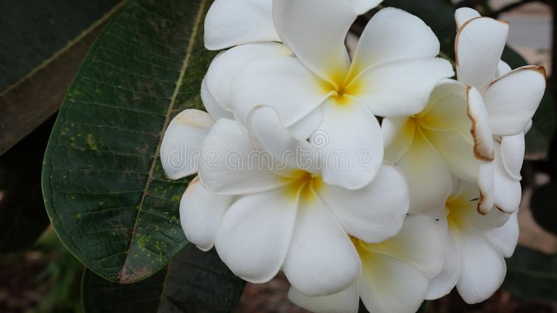 Inflorescencia de las flores blancas, pétalos blancos imagen de archivo libre de regalías