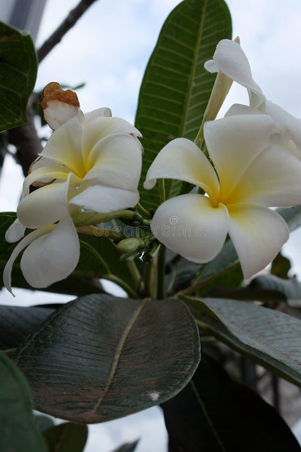 Inflorescencia de las flores blancas, pétalos blancos fotos de archivo libres de regalías