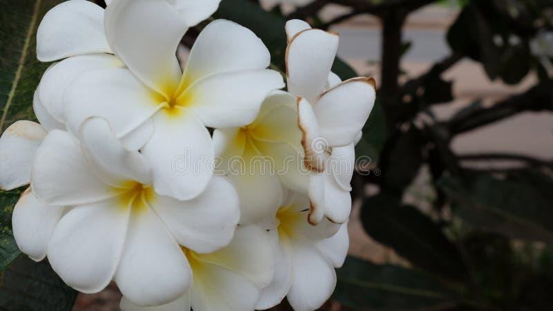 Inflorescencia de las flores blancas, pétalos blancos imagenes de archivo