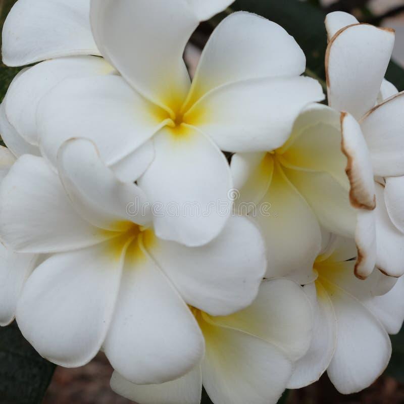 Inflorescencia de las flores blancas, pétalos blancos foto de archivo libre de regalías