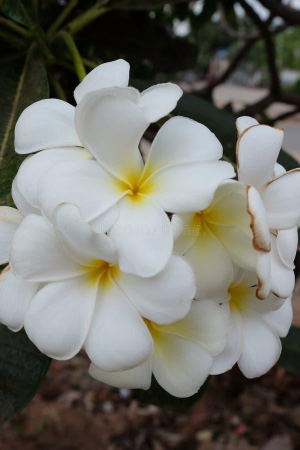Inflorescencia de las flores blancas, pétalos blancos imágenes de archivo libres de regalías
