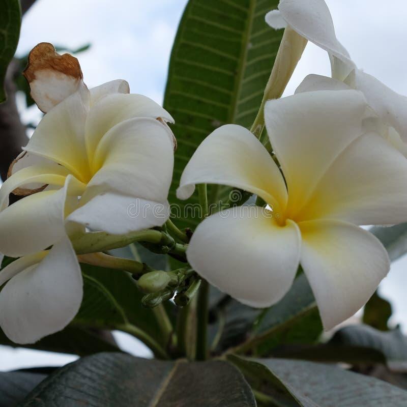 Inflorescencia de las flores blancas, pétalos blancos fotografía de archivo