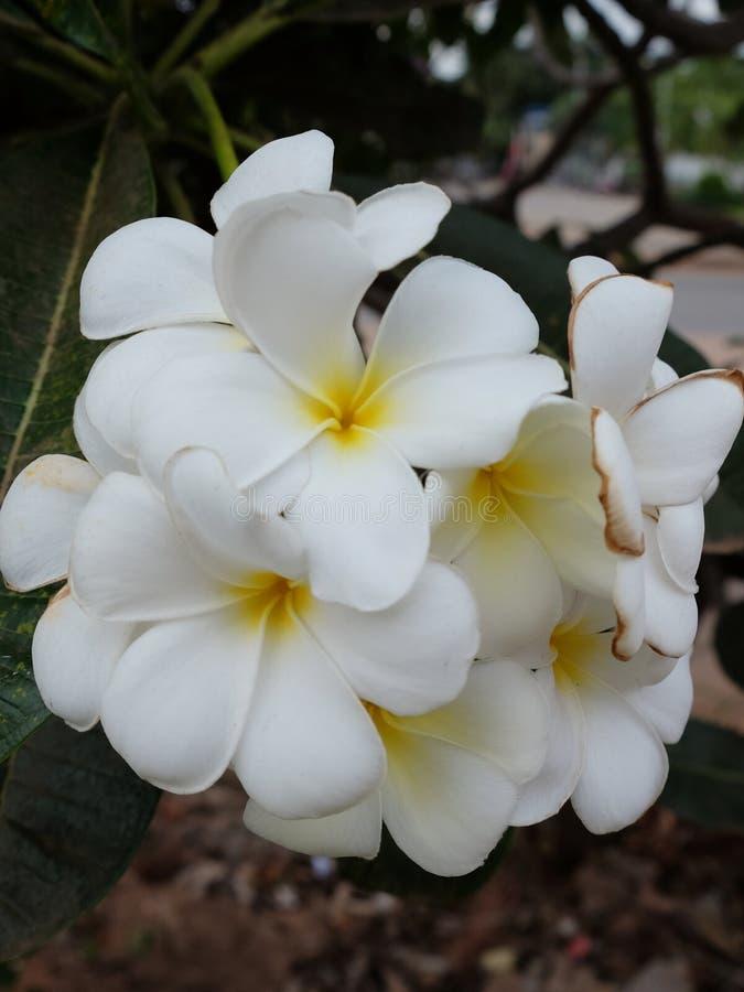 Inflorescencia de las flores blancas, pétalos blancos foto de archivo
