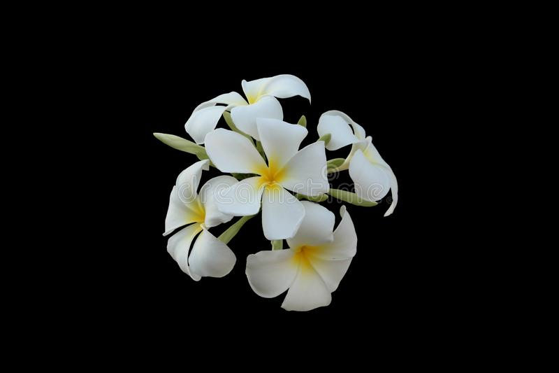 Inflorescencia de las flores cinco-petalled blancas con los centros amarillos Flores blancas hermosas Aislado Fondo negro fotografía de archivo libre de regalías