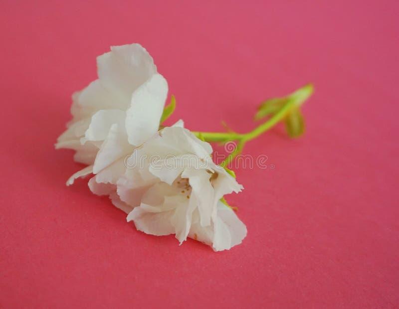 Inflorescencia de las flores japonesas blancas de la cereza contra fondo colorido fotos de archivo