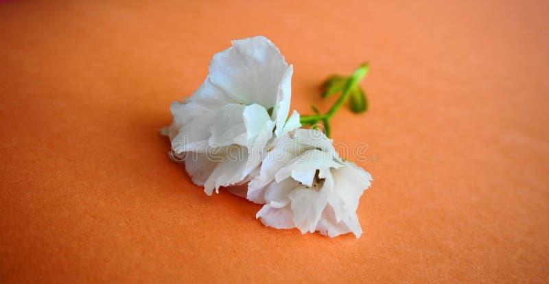 Inflorescencia de las flores japonesas blancas de la cereza contra fondo colorido fotos de archivo libres de regalías