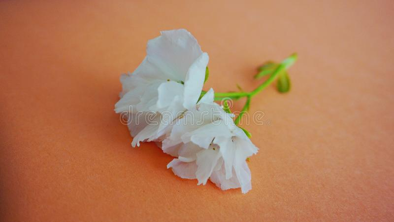 Inflorescencia de las flores japonesas blancas de la cereza contra fondo colorido fotografía de archivo libre de regalías