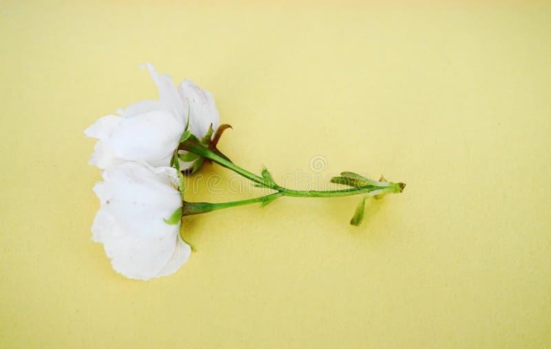 Inflorescencia de las flores japonesas blancas de la cereza contra fondo colorido imágenes de archivo libres de regalías