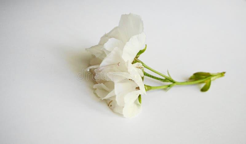 Inflorescencia de las flores japonesas blancas de la cereza en el fondo blanco foto de archivo