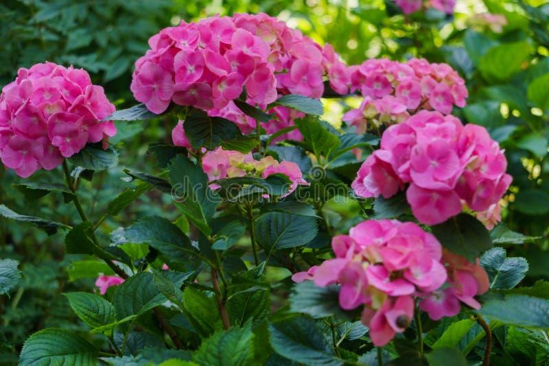 Inflorescencia de las flores rosadas brillantes de la hortensia en el jardín fotos de archivo