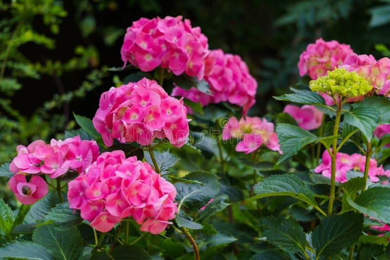 Inflorescencia de las flores rosadas brillantes de la hortensia en el jardín imagen de archivo libre de regalías
