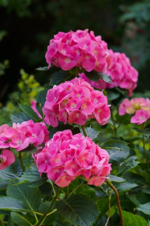 Inflorescencia de las flores rosadas brillantes de la hortensia en el jardín foto de archivo libre de regalías