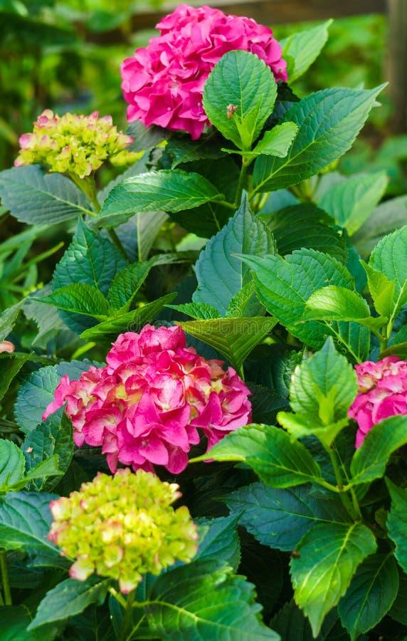 Inflorescencia de las flores rosadas brillantes de la hortensia en el jardín fotografía de archivo libre de regalías
