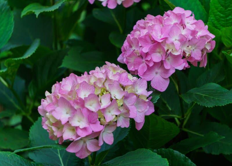 Inflorescencia de las flores rosadas de la hortensia en jardín imagenes de archivo