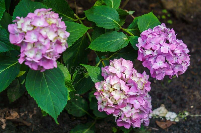 Inflorescencia de las flores rosadas de la hortensia en jardín imagen de archivo libre de regalías