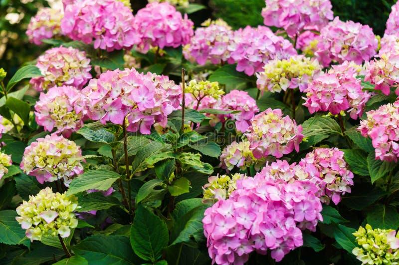 Inflorescencia de las flores rosadas de la hortensia en jardín imágenes de archivo libres de regalías