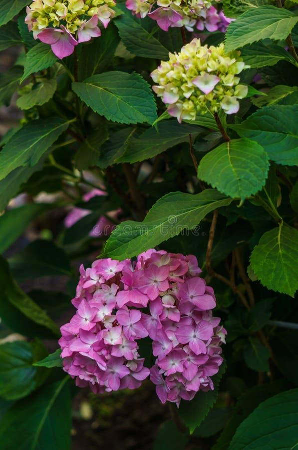 Inflorescencia de las flores rosadas de la hortensia en jardín imagen de archivo