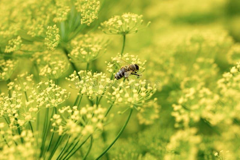 Inflorescencia de las hierbas del eneldo en un jardín foto de archivo libre de regalías