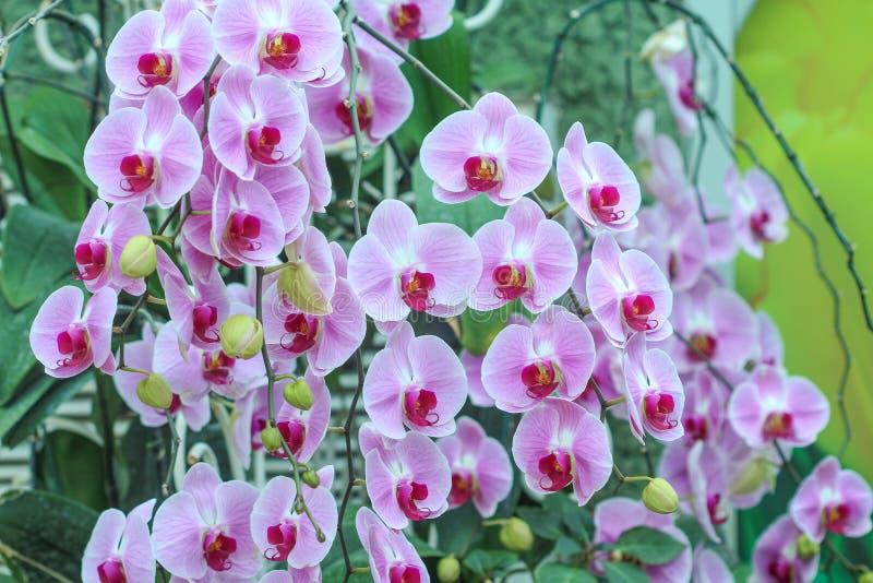 Inflorescencia de las orquídeas púrpuras que florecen en el fondo del jardín, flor natural grupo enorme que cuelga en árbol imagen de archivo libre de regalías