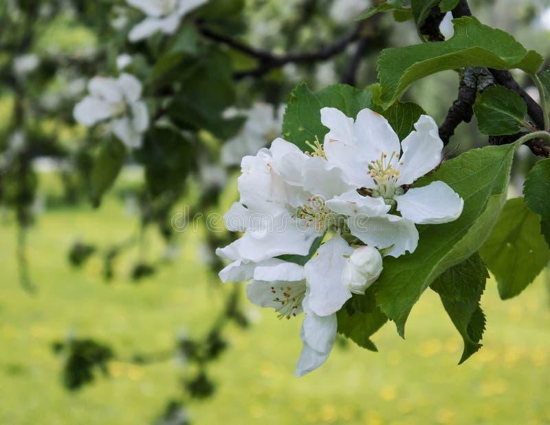 Inflorescencia de los flores blancos de la manzana fotos de archivo libres de regalías