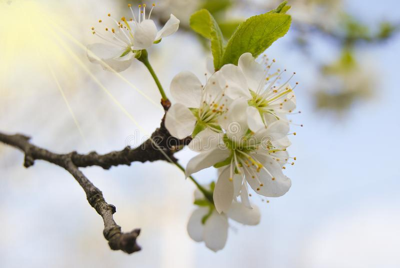 Inflorescencia de los flores del ciruelo en el jardín imagen de archivo libre de regalías