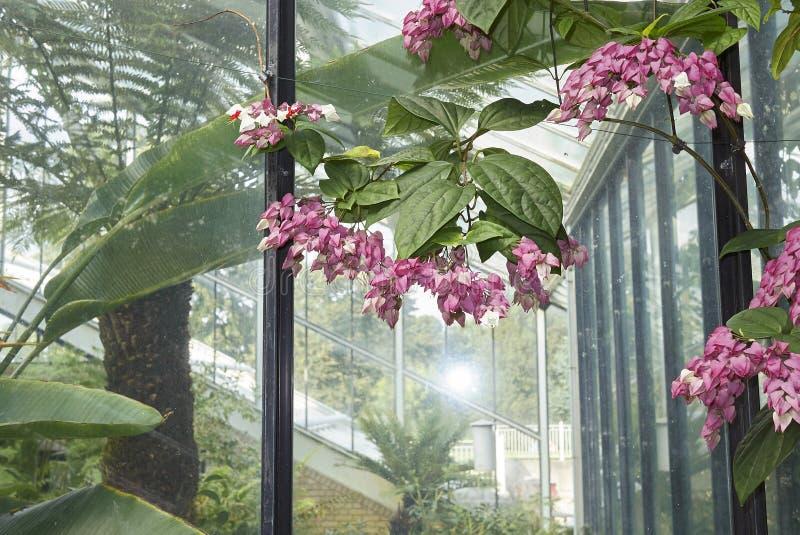 Inflorescencia de los thomsoniae de Clerodendrum foto de archivo libre de regalías
